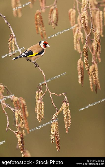 European Goldfinch (Carduelis carduelis) adult perched on Alder (Alnus glutinosa) twig with catkins, Suffolk, England, March, Credit:Paul Sawer / Avalon