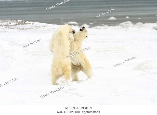 Polar Bear (Ursus maritimus) Sparring pair
