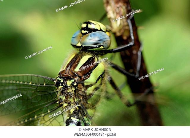 Spring hawker, Brachytron pratense, close-up