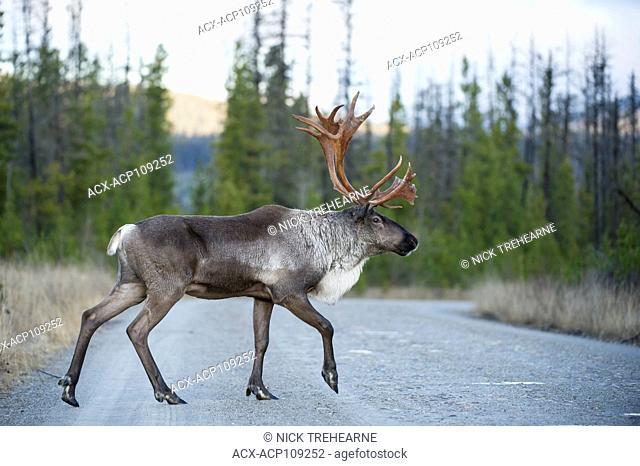 Male Woodland Caribou, Rangifer tarandus caribou, Central British Columbia, Canada