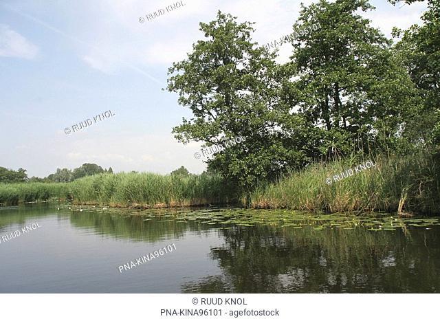 Yellow Waterlily Nuphar lutea - De Wieden, Overijssel, The Netherlands, Holland, Europe