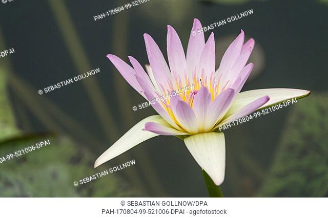 A purple water lilly (Nymphaea) blooms in the water lilly pond of the zoological and botanical garden of the Wilhelma in Stuttgart, Germany, 04 August 2017