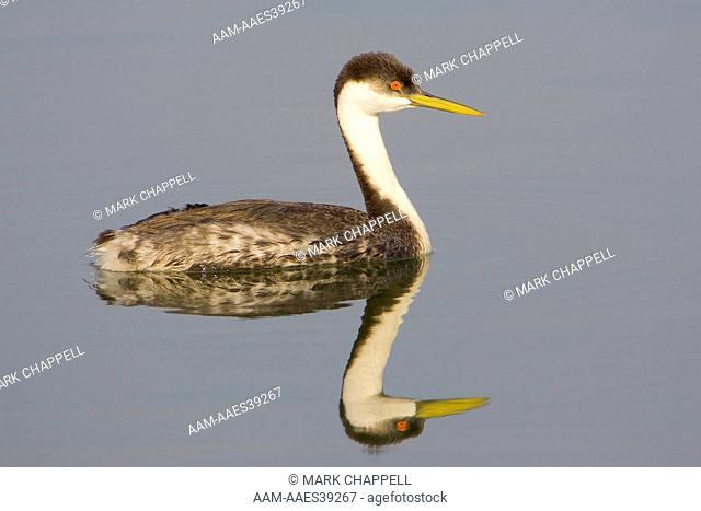 Western Grebe (Aechmophorus occidentalis), Bolsa Chica Wetlands, Orange County, California, USA