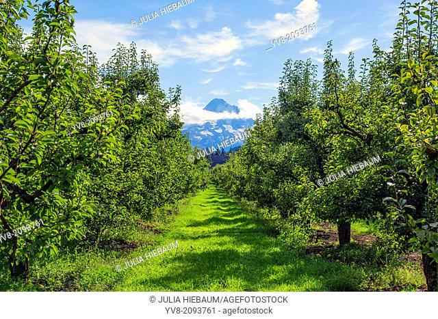 Pear orchard near Parkdale, Oregon