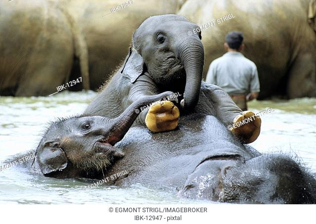 Young elephants playing in the water, Pinnawela Elephant Orphanage