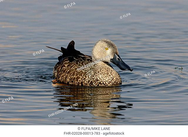 Cape Shoveler (Anas smithii) adult male, swimming, South Africa, August