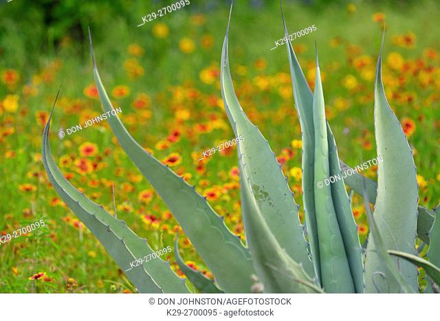 Native spring wildflowers- Indian blanket and agave leaves, Pace Bend LCRA, Marble Falls, Texas, USA