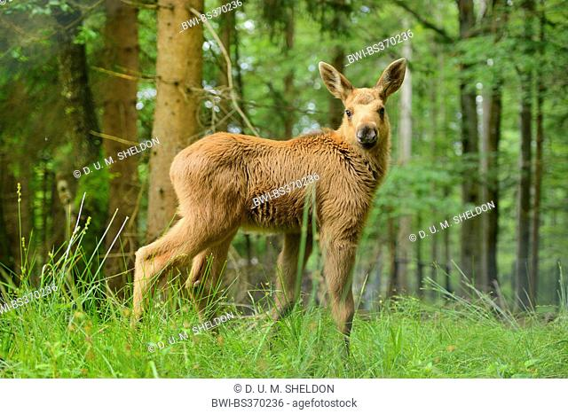 elk, European moose (Alces alces alces), moose calf in a forest, Germany, Bavaria, Bavarian Forest National Park