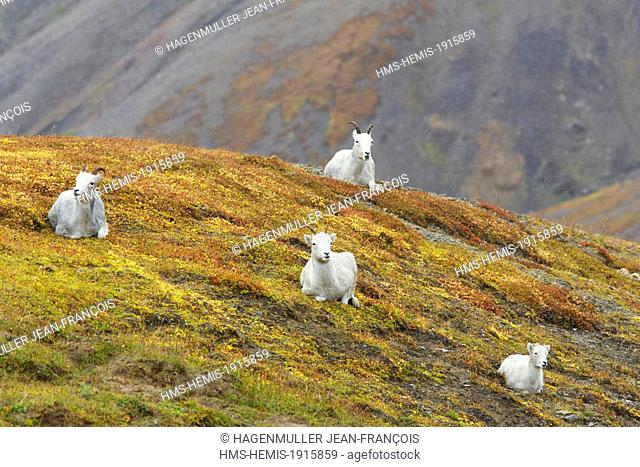 United States, Alaska, Denali National Park, Mount McKinley, Dall sheep (Ovis dalli)