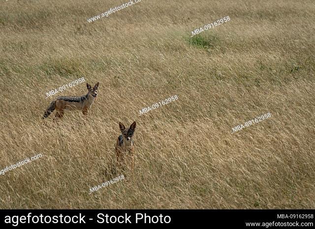 Northern Tanzania, in May, National Parks Serengeti, Ngorongoro Crater, Tarangire, Arusha and Lake Manyara, two jackals in the savanna, golden wolf