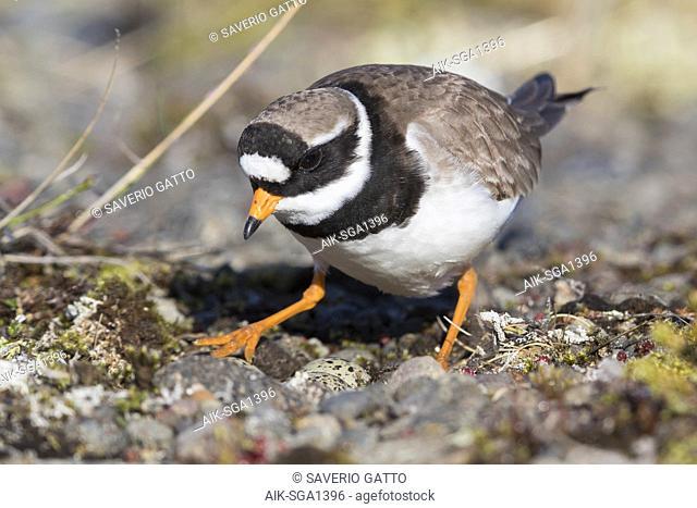 Ringed Plover (Charadrius hiaticula psammodromus), adult female sitting on nest