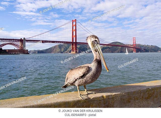 Brown pelican, Pelecanus occidentalis, adult, non breeding, Golden Gate Bridge, San Francisco Bay