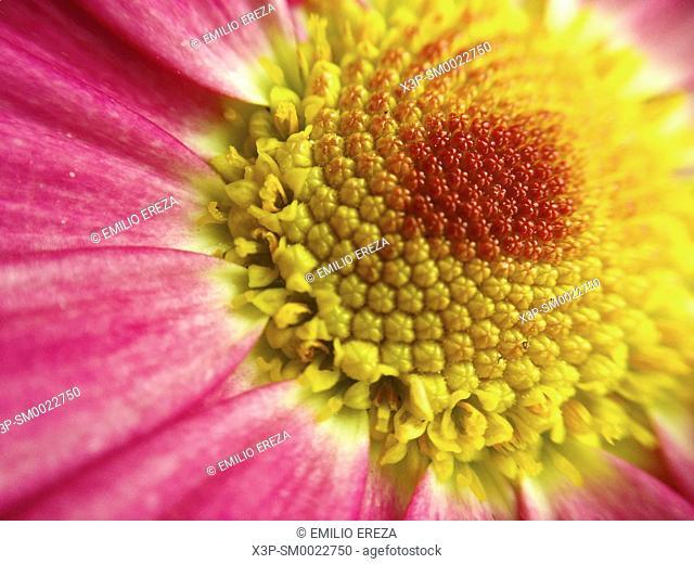 Daisy flower. Macro