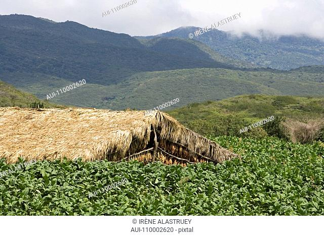 Dominican Republic - Centre - The Cibao Valley - tobacco - Santiago - plantation
