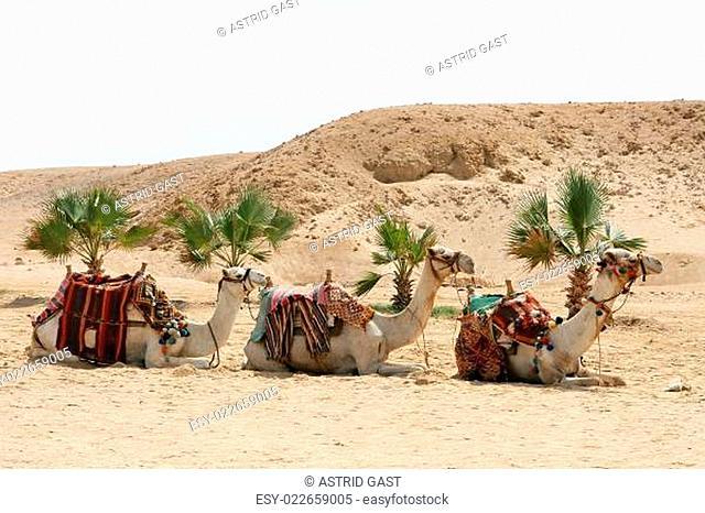 Drei Dromedare warten auf Touristen
