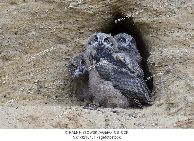 Eurasian Eagle Owls / Europaeische Uhus ( Bubo bubo ), three chicks in the entrance of their nesting burrow, cute and funny wildlife, Europe