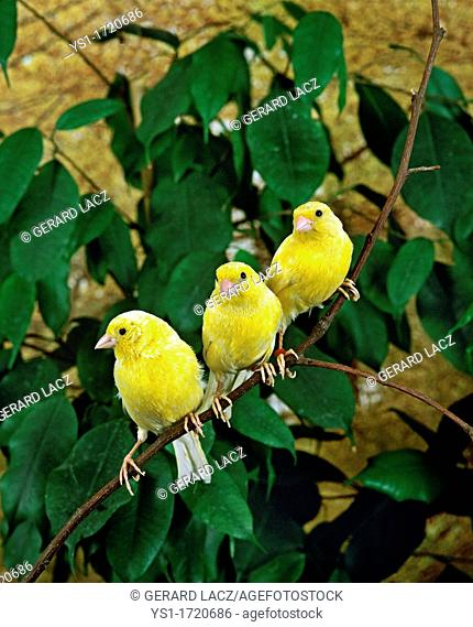 Yellow Canary, serinus canaria, Group standing on Branch