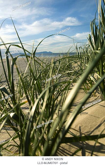 Plants on sand dunes with Table Mountain and Cape Peninsula in background, False Bay, Cape Town, Western Cape Province, South Africa