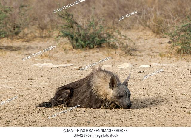 Brown hyena (Hyaena brunnea) resting on ground, Kgalagadi Transfrontier Park, Northern Cape, South Africa