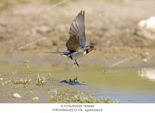 Barn Swallow Hirundo rustica adult, in flight, collecting mud nesting material, Spain