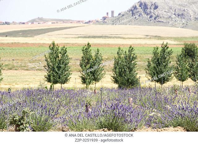 Lavender plantation in El Pobo Teruel Aragon Spain