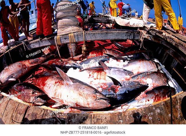 Northern bluefin tuna, Thunnus thynnus, Vulnerable (IUCN), inside the boat, Carloforte, San Pietro Island, Sardinia, Italy, Tyrrhenian Sea, Mediterranean