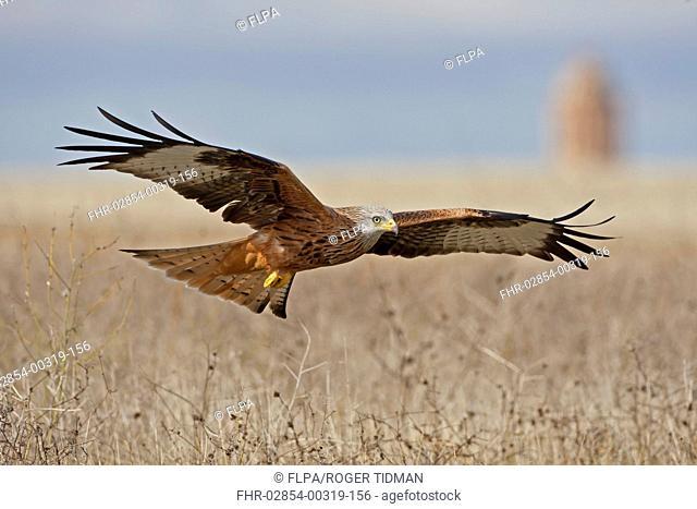 Red Kite Milvus milvus adult, in flight, Northern Spain, November