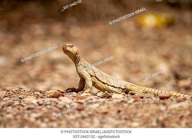 Egyptian Mastigure (Uromastyx aegyptia), AKA Leptien's Mastigure, or Egyptian dab lizard. Egyptian Mastigures can be found in Egypt