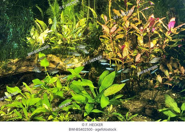 Odontostilbe (Odontostilbe piaba, Chirodon piaba, Serrapinnus piaba), with Green neon tetra, Paracheirodon simulans, in a tropical aquarium