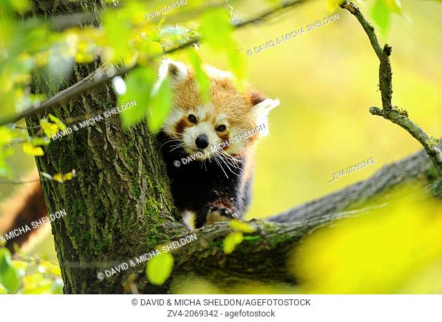 Close-up of a red panda (Ailurus fulgens) in a forest in autumn
