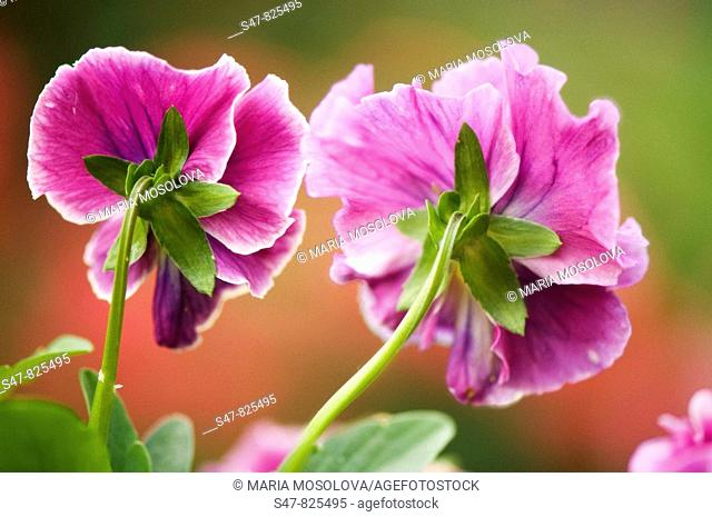 Two Dark Pink Pansy Flowers. Viola x wittrockiana
