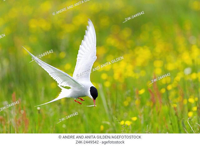 Arctic Tern (Sterna paradisaea) in flight with little fish in beak, with yellow flowers in background, Iceland