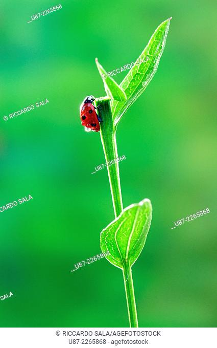 Italy, Lombardy, Countryside of Cremona Province, Ladybug on Leave
