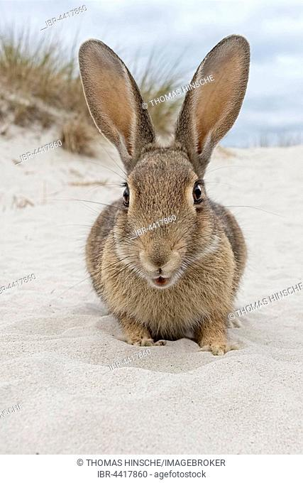 Wild rabbit, (Oryctolagus cuniculus), beach dunes, Mecklenburg-Vorpommern, Germany