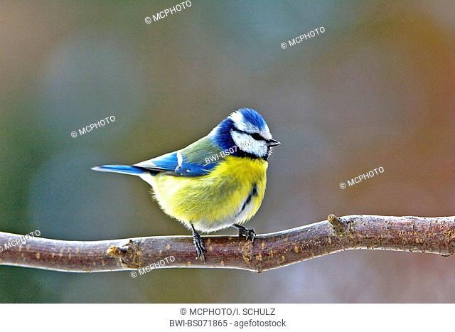 blue tit (Parus caeruleus), Germany