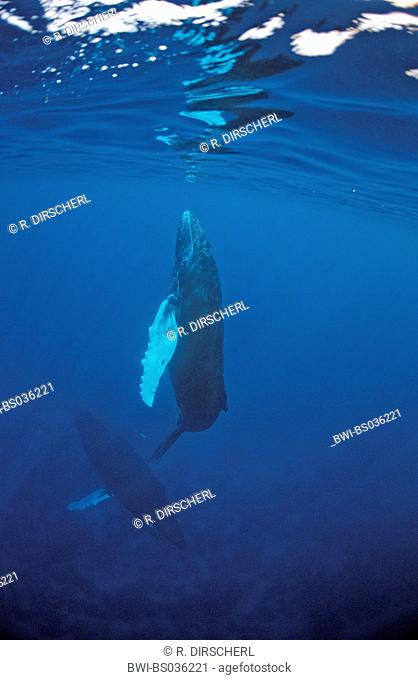humpback whale (Megaptera novaeangliae), mother with calf, Dominican Republic, Caribbean Sea