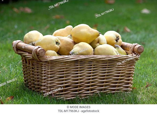 A basket of quince on the grass, Cydonia oblonga