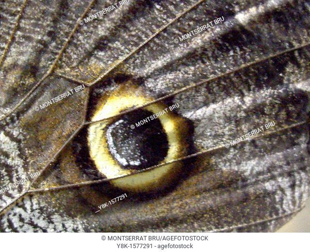 Caligo butterfly wing