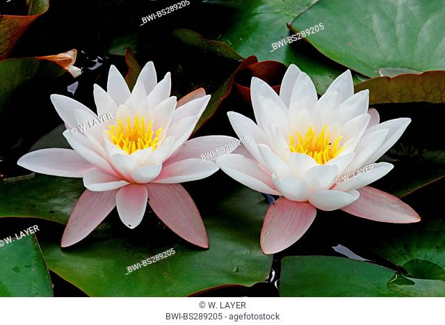 water lily, pond lily (Nymphaea spec.), flowers