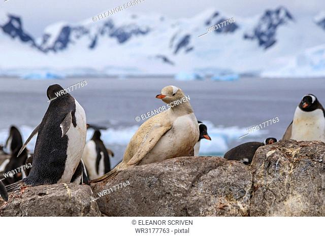 Rare leucistic gentoo penguin (Pygoscelis papua) in a colony, Gonzalez Videla Station, Waterboat Point, Paradise Bay, Antarctica, Polar Regions