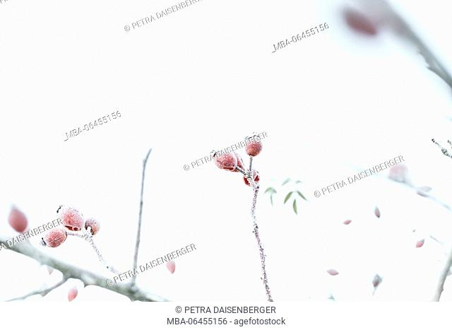 Rose hips in a shrub in winter