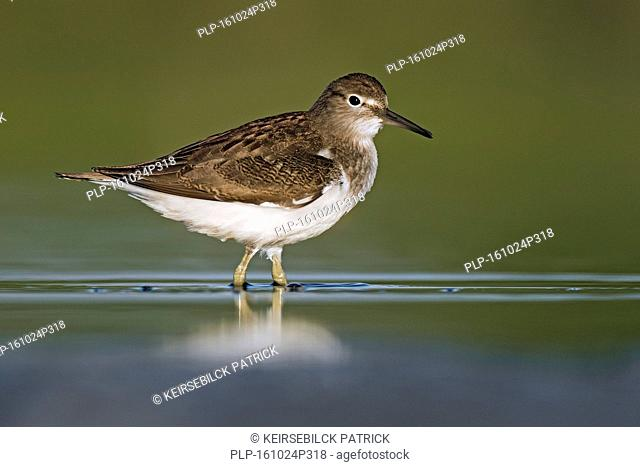 Common sandpiper (Actitis hypoleucos / Tringa hypoleucos) foraging in shallow water of mudflat