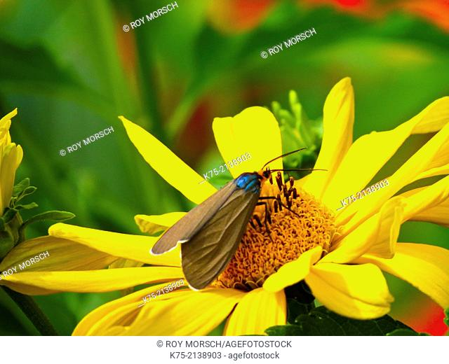 Yellow coneflower with Virginia Ctenuchid Moth