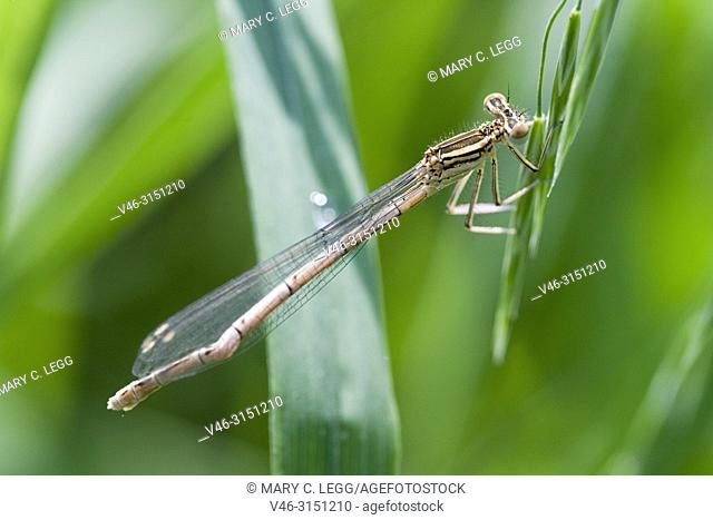 Female White-legged Damselfly, Platycnemis pennipes with damaged tail. White-legged Damselfly, Platycnemis pennipes, Blue Featherleg