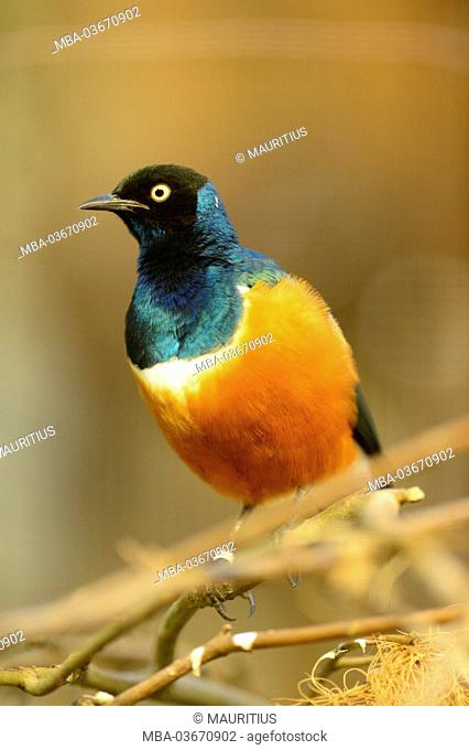 superb starling, Lamprotornis supercoach, branch, sitting