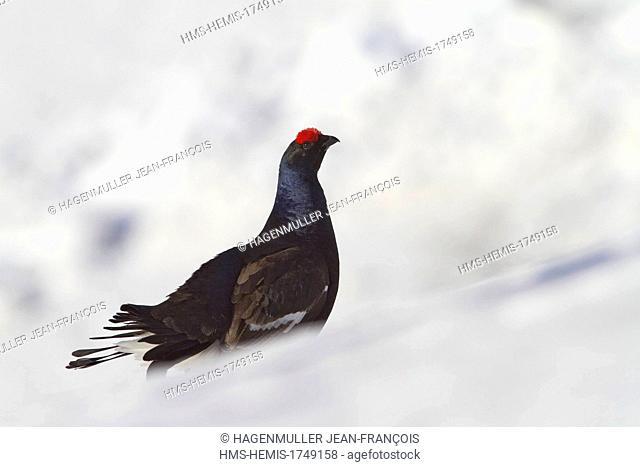 France, Haute Savoie, Chamonix, Black grouse (Tetrao tetrix), Chamonix