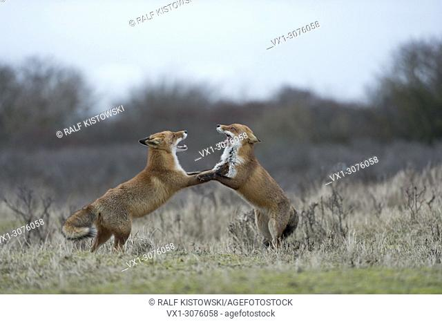 Red Foxes ( Vulpes vulpes ) in fight, fighting, standing on hind legs, threatening with wide open jaws, while rutting season, wildlife, Europe. .