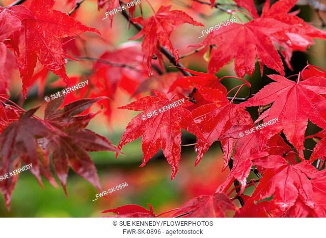 Maple, Japanese maple, Acer palmatum, Bright red autumn leaves wet after rain