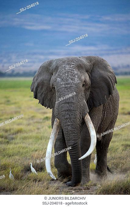 African Elephant (Loxodonta africana). Mature bull with large tusks at Amboseli National Park, Kenya
