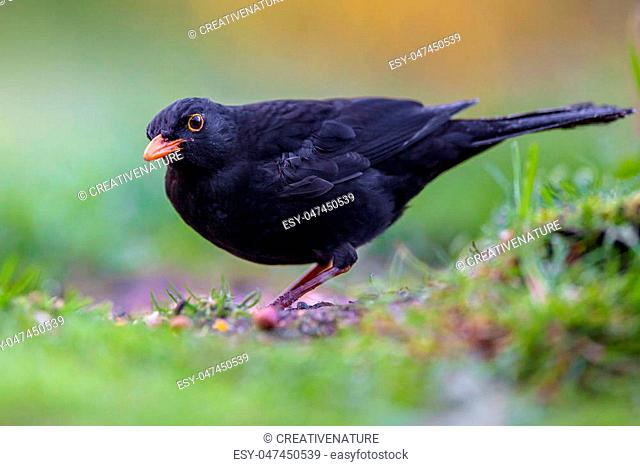 Male blackbird (Turdus merula) eating from the ground in an ecological garden with green background and looking at the camera